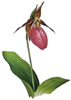 Pink Lady's Slipper ~ Club Flower