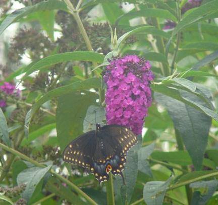 Female Black Swalltail
