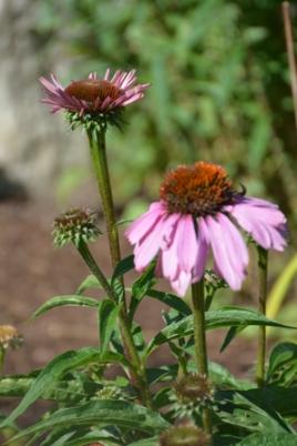echinacea-purpurea-4-e