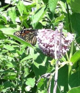 Monarch on 6=27=14 on common milkweedw