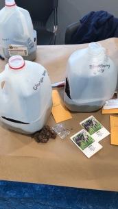 milk jug mini-greenhouses