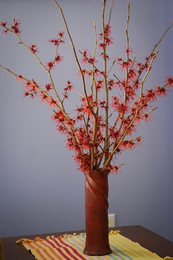 Witch hazel branches can bew cut now and forced for late March beauty